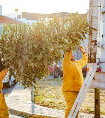 Inicia recolección de árboles de navidad